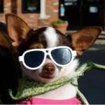 Sunglass pup